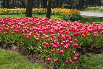 red tulips from istanbul tulip festival 2009