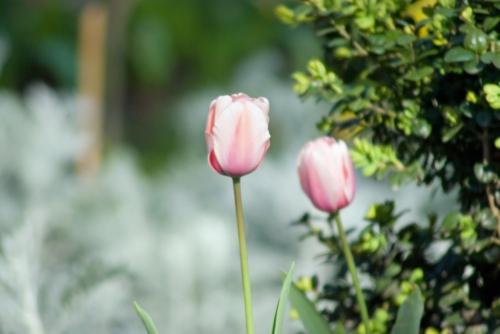 pink tulips, istanbul tulip festival 2009, istanbul lale festivali 2009, pentax k10d
