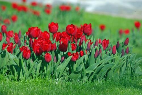 Red tulips, İstanbul tulip festival, Emirgan park, İstanbul, beşinci İstanbul lale festivali'nden kırmızı laleler, Emirgan parkı, pentax k10d