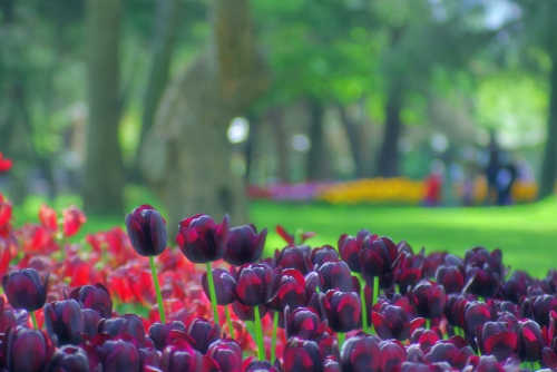 Istanbul tulip festival, İstanbul lale festivali, İstanbul 2009, pentax k10d