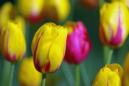 istanbul tulip festival, istanbul lale festivali , pentax k10d
