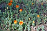 istanbul_tulip_festival_lale (13)
