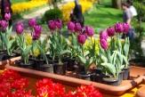Istanbul tulip festival, Istanbul lale festival, 2010, Emirgan park, pentax k10d