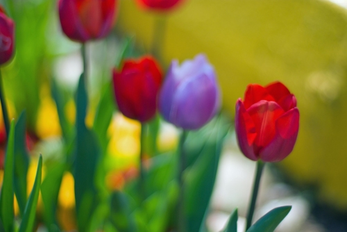 tulips of Istanbul, İstanbul tulip festival, İstanbul lale festivali, pentax k10d
