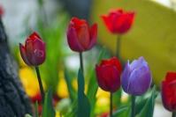 Istanbul tulip festival, İstanbul lale festivali, pentax k10d
