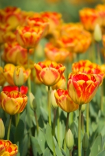 Istanbul Tulip Festival, İstanbul Lale Festivali, İstanbul, Pentax K10d