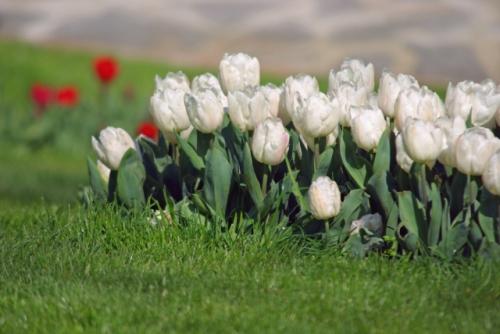 white tulips, Istanbul tulip festival 2010, beyaz laleler, İstanbul lale festivali 2010, Emirgan parkı, pentax k10d