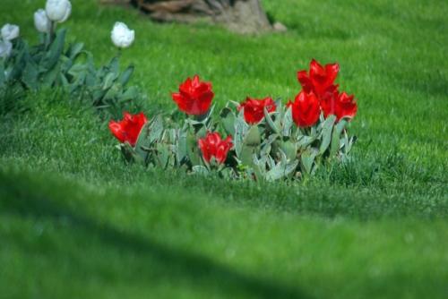 red tulips, istanbul tulip festival, kırmızı laleler, istanbul lale festivali, emirgan