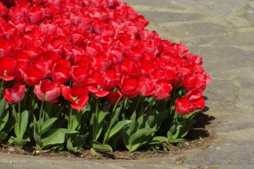 red tulips and istanbul tulip festival, kırmızı laleler ve istanbul lale festivali, emirgan, pentax k10d