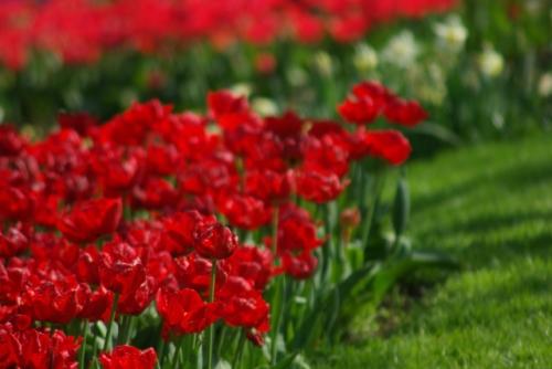 istanbul lale festivali, istanbul tulip festival, emirgan, pentax k10d