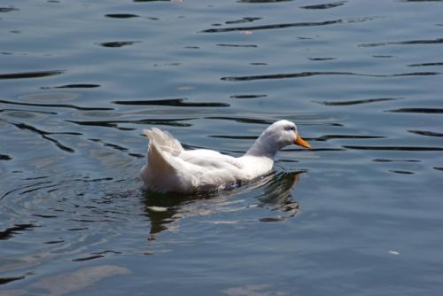 duck, emirgan park