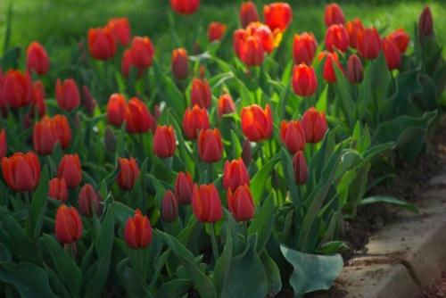 red tulips, kırmızı laleler, Istanbul tulip festival, İstanbul lale festivali 2010, Emirgan, pentax k10d