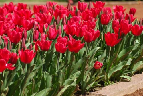 red tulips from Istanbul Tulip Festival 2010, İstanbul Lale Festivali 'nden kırmızı laleler, Emirgan parkı, pentax k10d