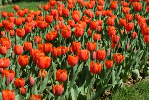 red tulips, Istanbul Tulip Festival 2010, kırmızı laleler, Istanbul lale festivali, Emirgan-İstanbul, pentax k10d