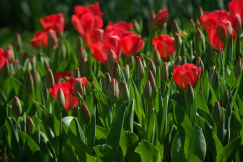 red tulips, istanbul tulip festival, emirgan, pentax k10d