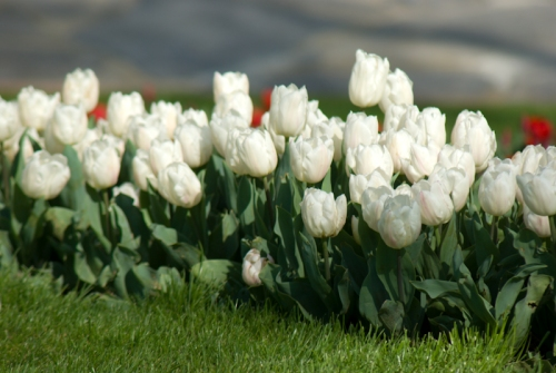 Istanbul tulip festival, İstanbul lale festivali, Emirgan, pentax k10d