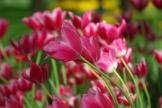 istanbul_tulip_festival_2011_03_26-10