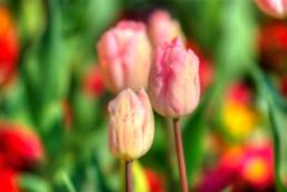 istanbul_tulip_festival_2011_03_26-3
