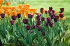 istanbul_tulip_festival_2011_03_26-6