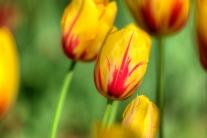 istanbul_tulip_festival_2011_03_26-7