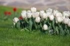 istanbul_tulip_festival_2011_03_26-9