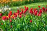 istanbul_tulip_festival_lale_2011_03_27-4