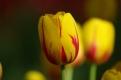 istanbul_tulip_festival_lale_2011_03_27-5