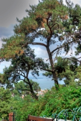 pine forests of Büyükada