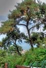 pine forests of Büyükada
