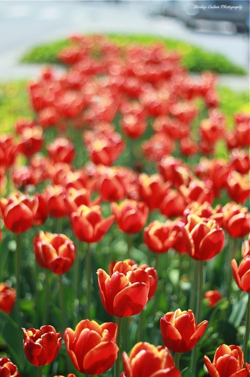 Tulip festival, photo by Berkay Gülüm