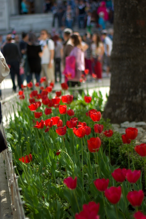 red tulips, Sultanahmet Mosque, pentax k10d, photos by ozgur ozkok