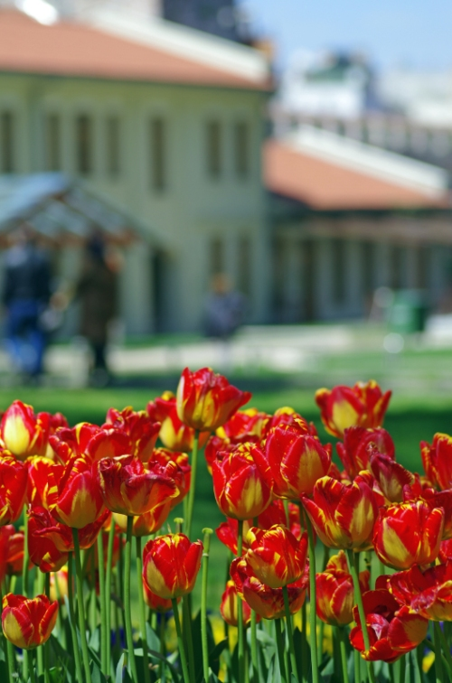 Istanbul tulip festival, Istanbul lale festivali, Gülhane park, pentax k5, photos by ozgur ozkok