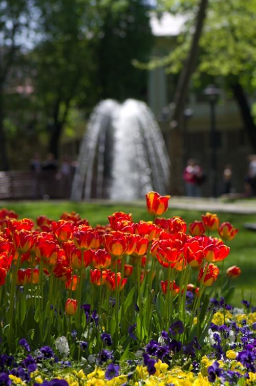 Istanbul lale festivali , Istanbul tulip festival,  pentax k5, photos by ozgur ozkok