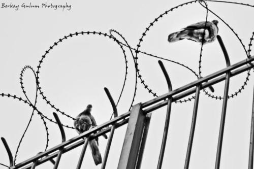 Doves, photos by Berkay Gülüm