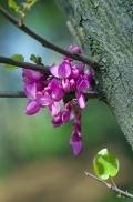 istanbul_moda_erguvan_judas_tree-27