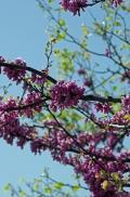 istanbul_moda_erguvan_judas_tree-33