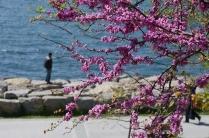 istanbul_moda_erguvan_judas_tree-5