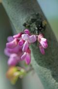 istanbul_moda_erguvan_judas_tree-50