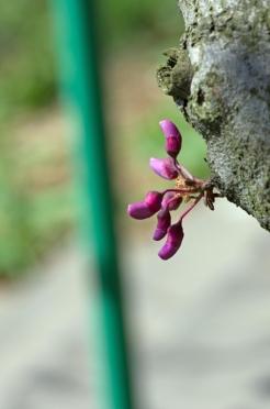 istanbul_moda_erguvan_judas_tree-54