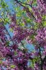 istanbul_moda_erguvan_judas_tree-57
