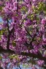istanbul_moda_erguvan_judas_tree-60