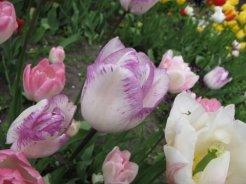 istanbul_tulip_festival_eleka_rugam_rebane-1