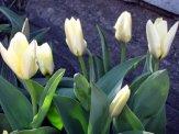 istanbul_tulip_festival_eleka_rugam_rebane-8