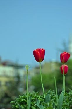 istanbul_tulip_lale_festival_ozgur_ozkok-185