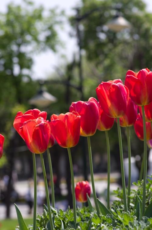 Istanbul lale festivali, İstanbul tulip festival, Sultanahmet square, Sultanahmet meydanı, pentax k5, photos by ozgur ozkok