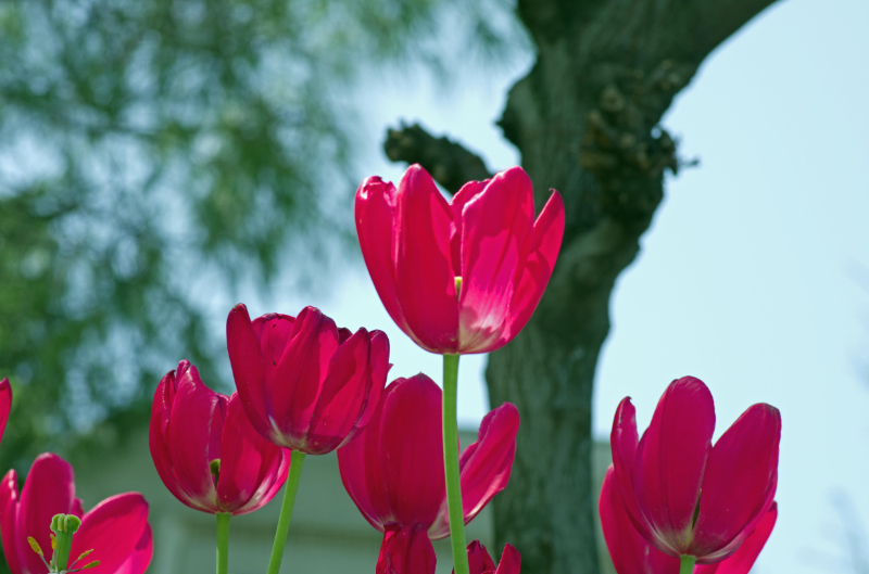 istanbul_tulip_lale_festival_ozgur_ozkok-98