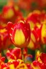 istanbul_tulip_lale_festival_ozgurozkok (1)