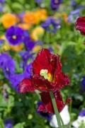 Istanbul Lale Festivali , Istanbul tulip f estival, 2012 photos by ozgur ozkok