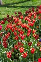 istanbul_tulip_lale_festival_ozgurozkok (7)