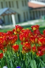 istanbul_tulip_lale_festival_ozgurozkok (77)